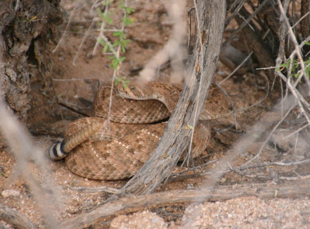 ecddrattlesnake.jpg