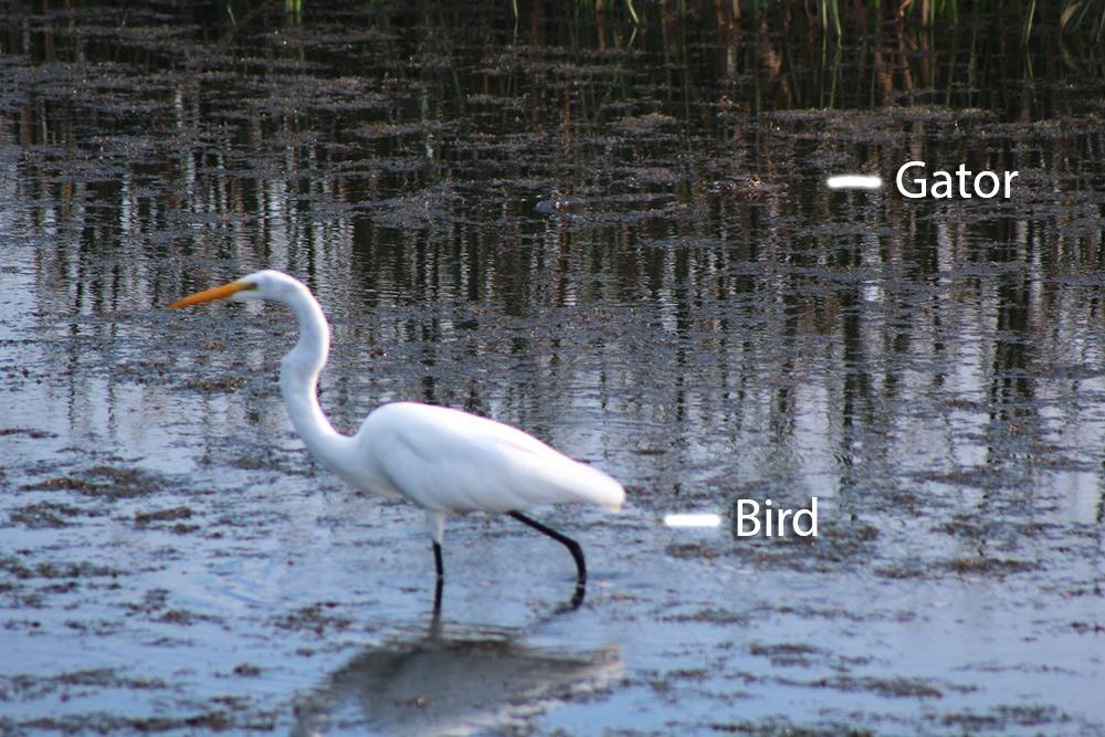 egret-gator.jpg