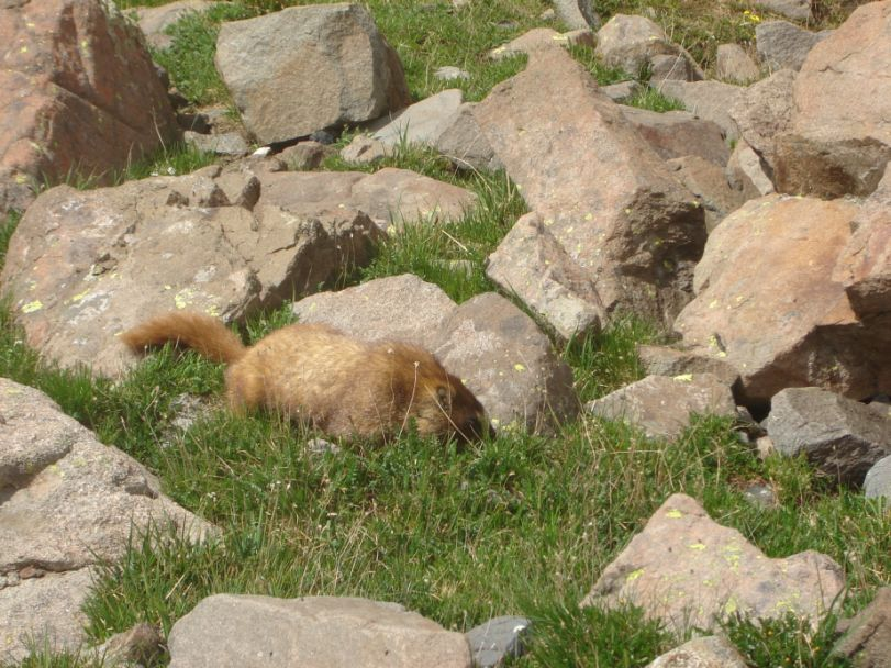 marmot1.jpg