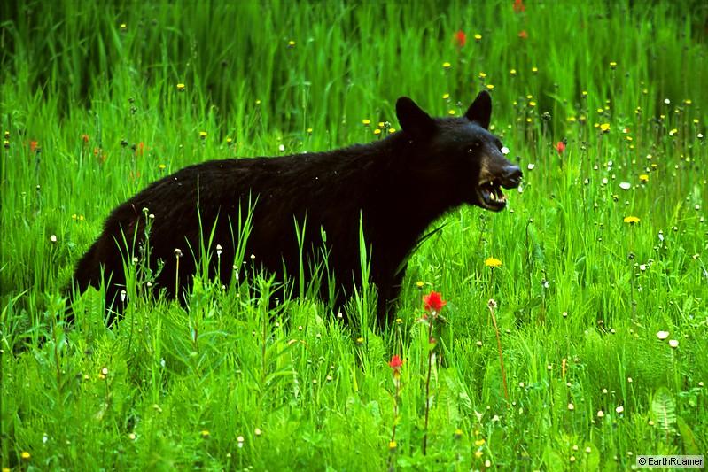 blackbearflowers_001_12_std