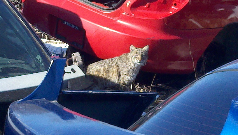 bobcat.jpg